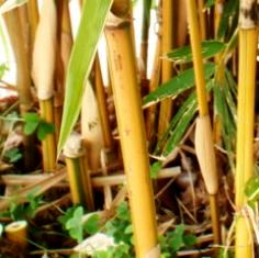 pohon bambu disekitar lingkungan rumah
