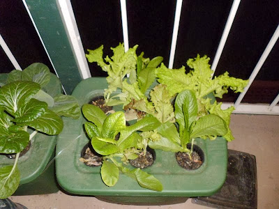 Lettuce in DWC nighttime