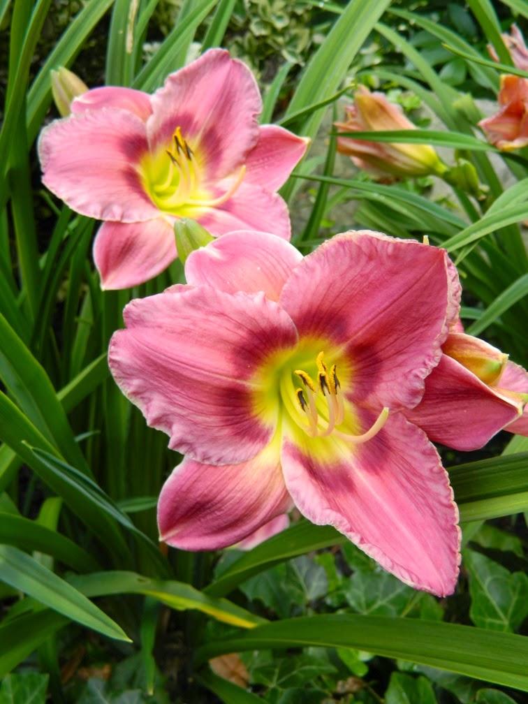 Prairie Blue Eyes Hemerocallis daylily by garden muses-not another Toronto gardening blog