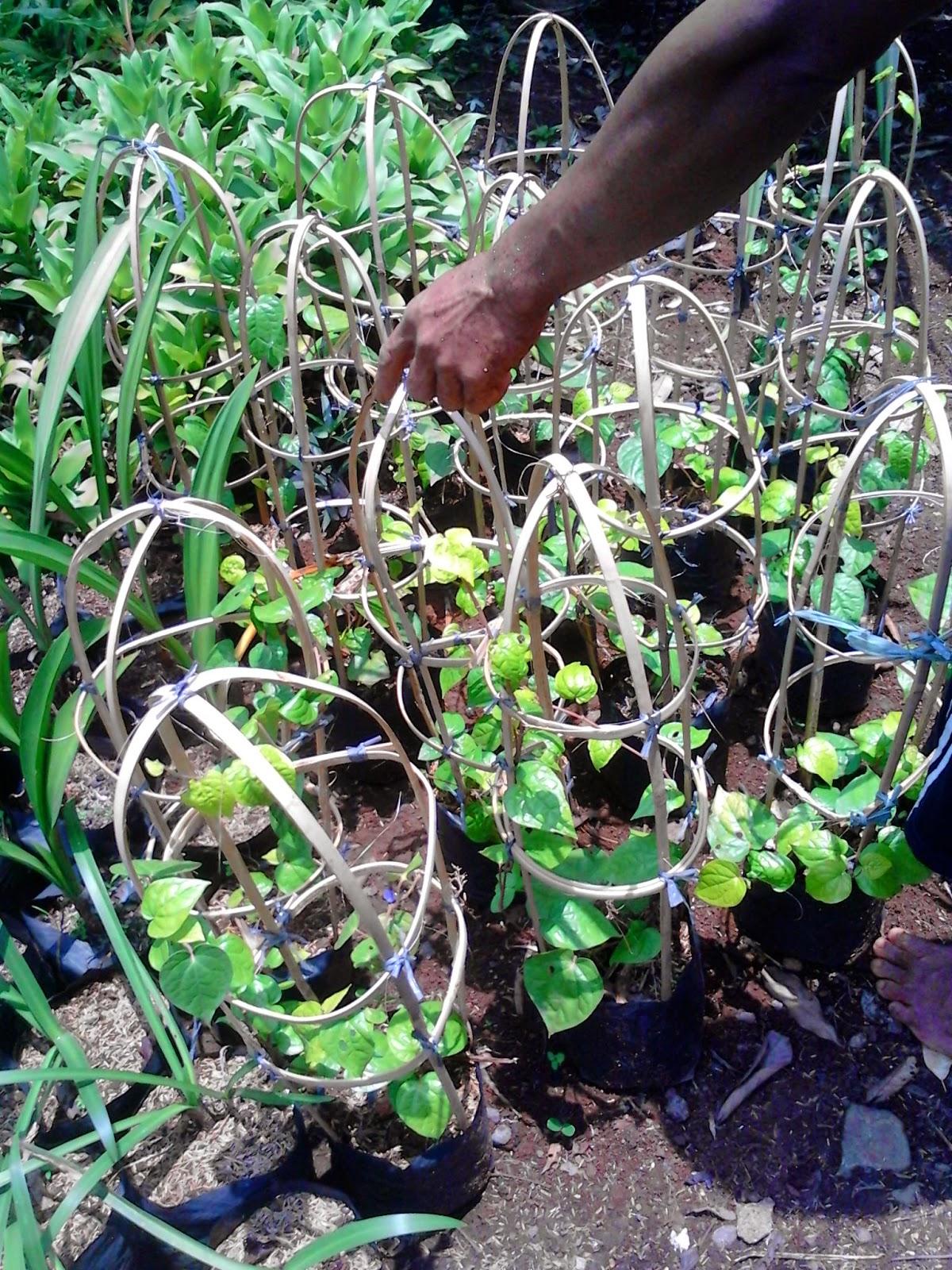 Jual pohon sirih (piper batle) | tanaman bermanfaat | tanaman rambat | suplier tanaman | tanaman hias | jasa desain taman