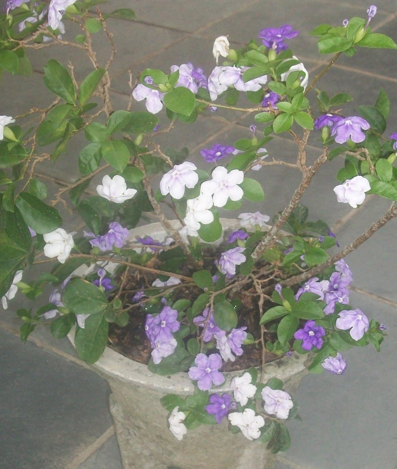 manaca de jardim em vaso : manaca de jardim em vaso:Cecilia Meireles – Leilão de Jardim)
