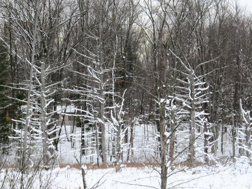 stark trees with snow