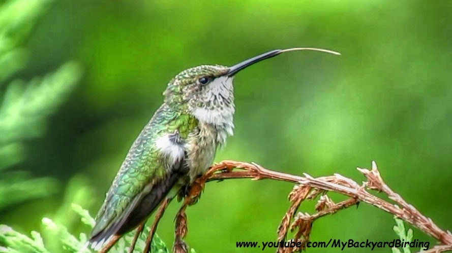 Ruby Throated Hummingbird Preening