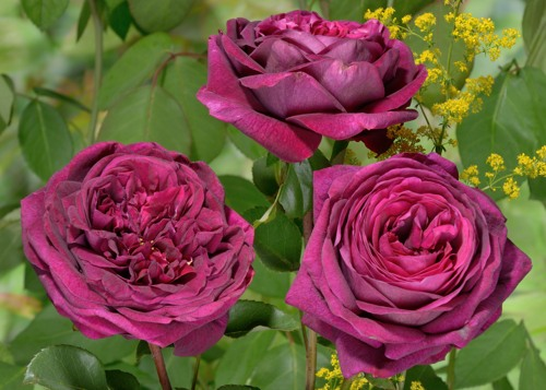 The Prince rose сорт розы фото