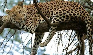 Leopardo descansando plácidamente sobre ramas