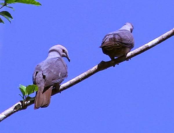 Barking imperial pigeon: Ducula latrans