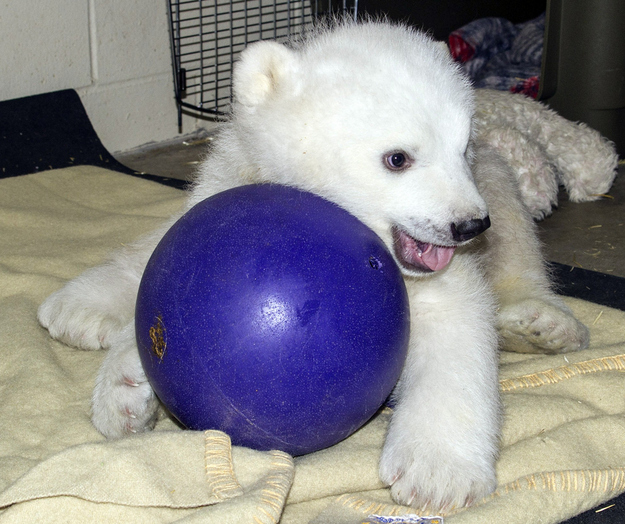 Orphaned Polar Bear