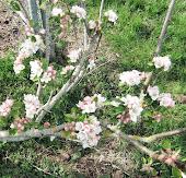 Apple blossom IRISH PEACH