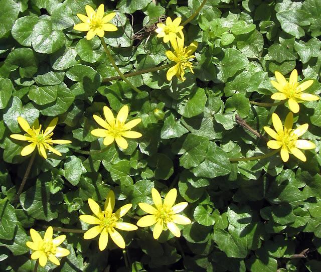 Lesser celandine, Ranunculus ficaria, at Keston Mark. 23 March 2011.