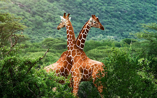 Giraffes Africa Savanna Greens HD Wallpaper