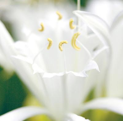White Sea Lily