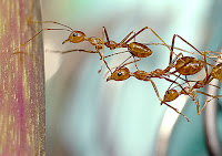hormiga cooperando