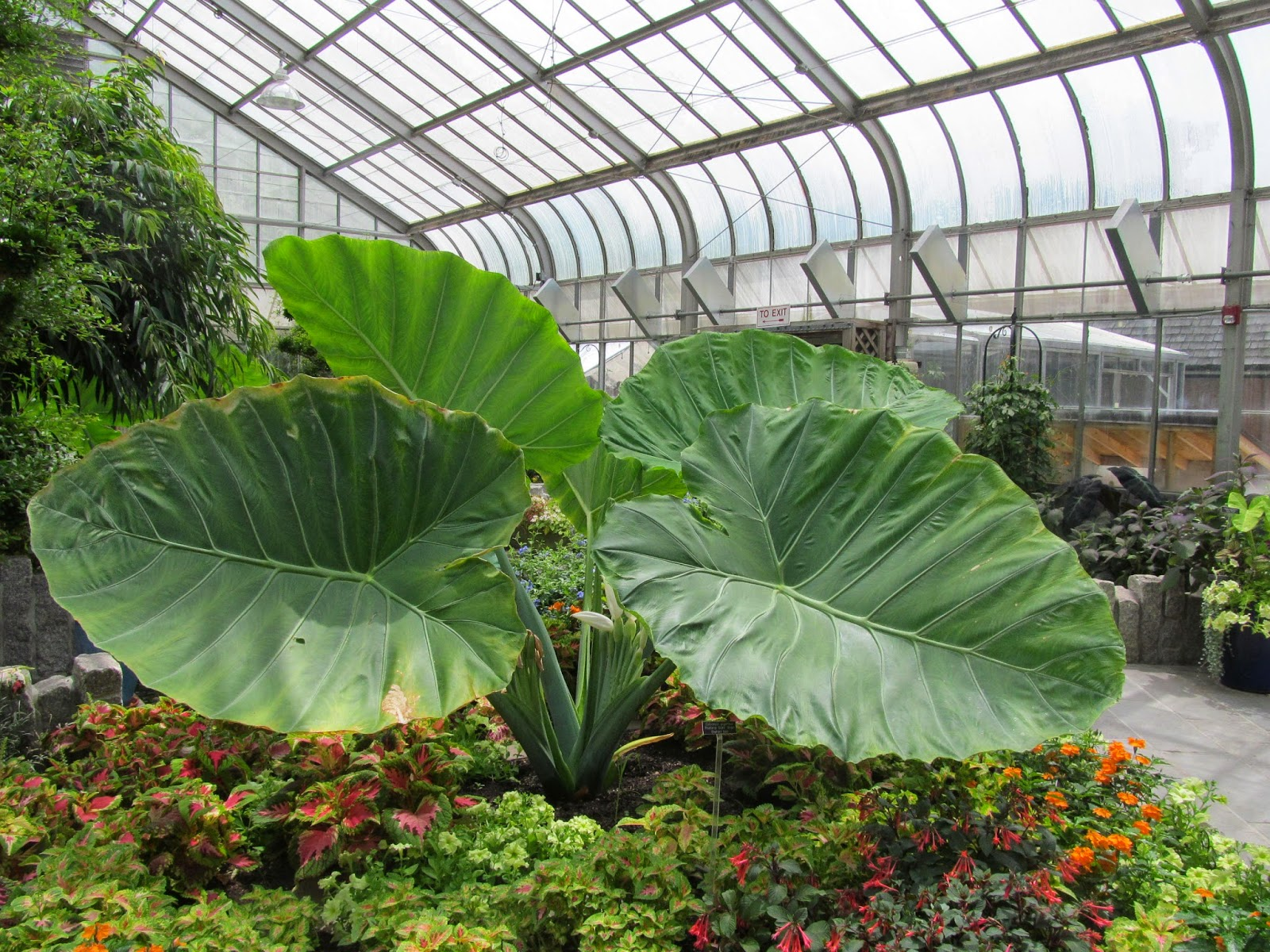 The leaves of the elephant ear plant are giant! (c) Stormy Heart