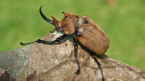 15 Serangga Terbesar di Dunia: Kumbang Gajah