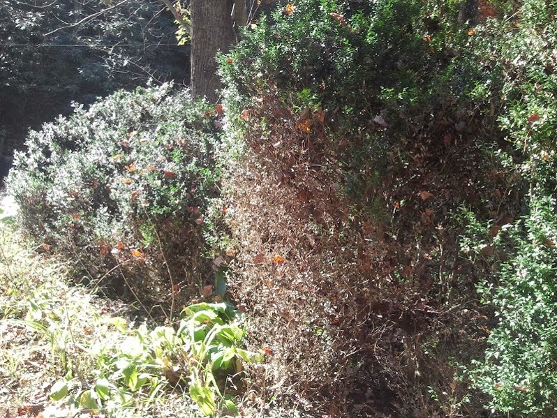 lower leaves brown and fallen on boxwood-blight-stricken shrub