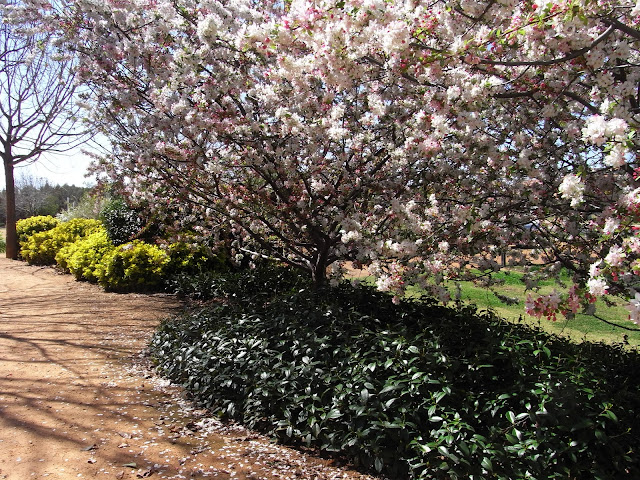Flowering Cherry Trees, Japanese Garden, Dubbo
