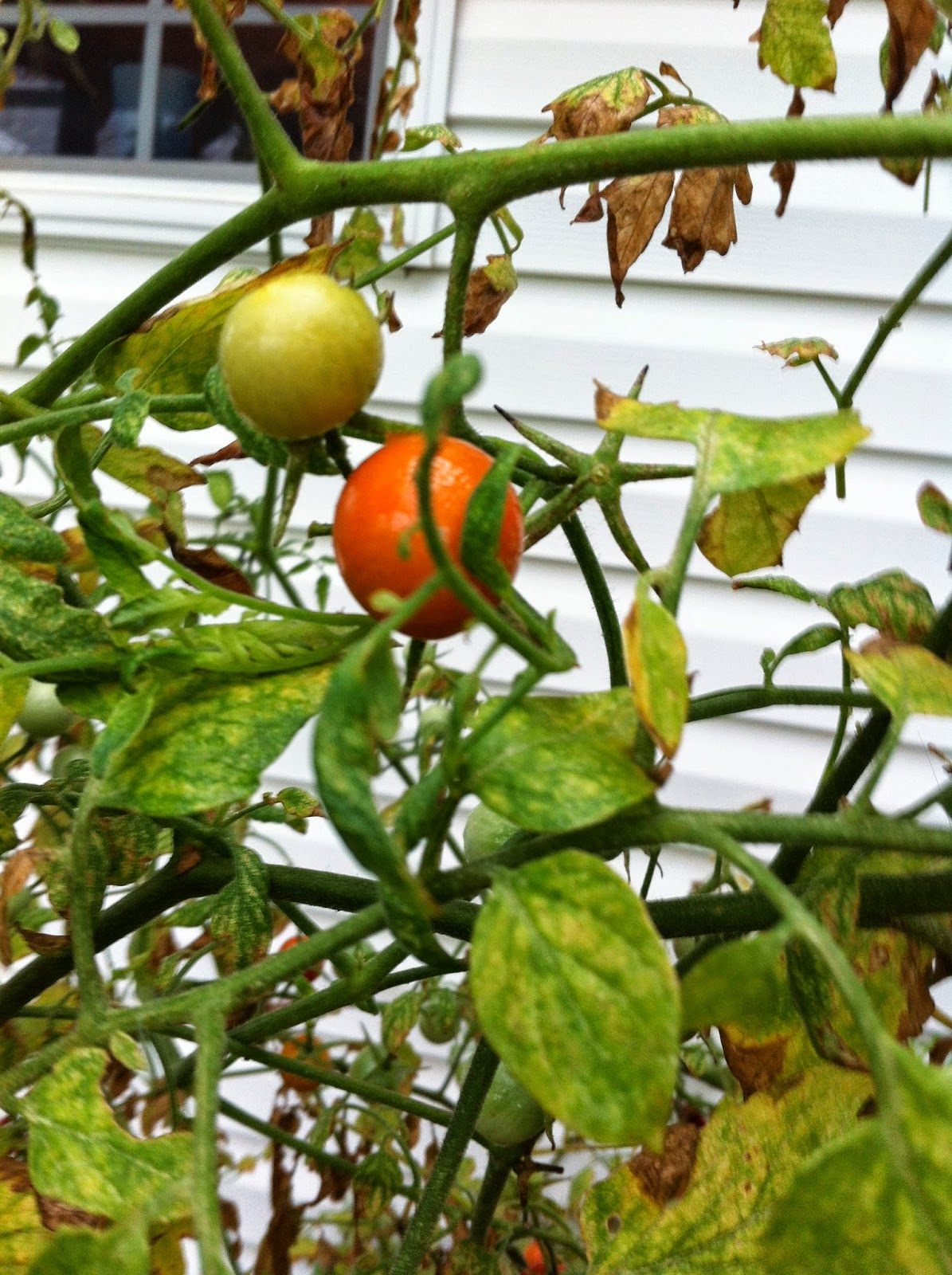 how to make tomato plants not too tall