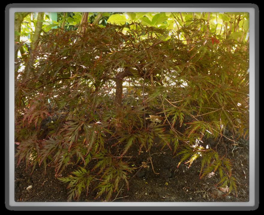 My front garden spring summer gardening   japanese esdoorn Dissectum Atropurpureum