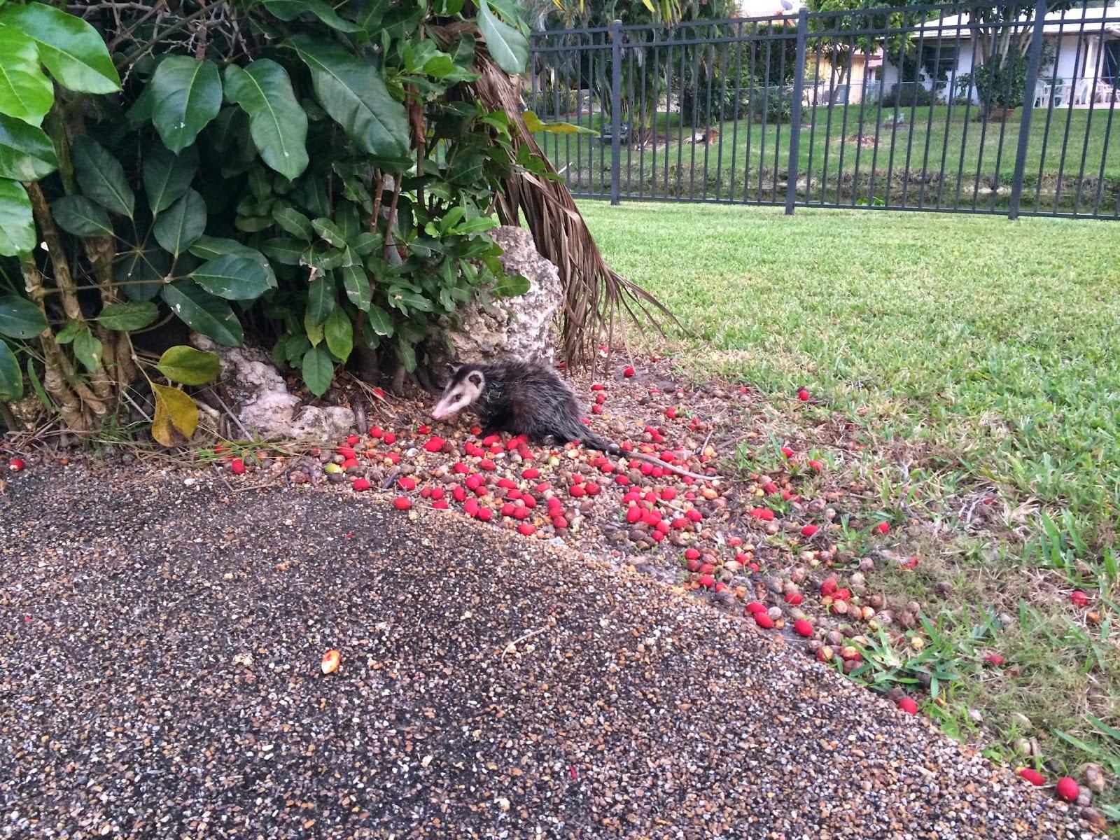 The Backyard Possum (aka Pool Pah)