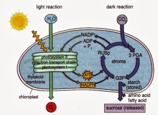 Science Light And Dark Light And Dark Reaction