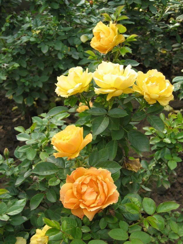 Rose flowers pictures rose plant 4 - Planting rose shrub step ...