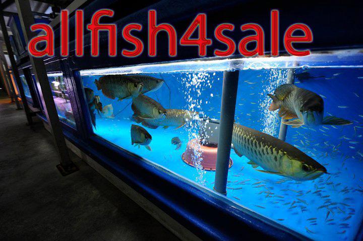 Fish for sale silver dragon arowana for sale for Arowana fish for sale online