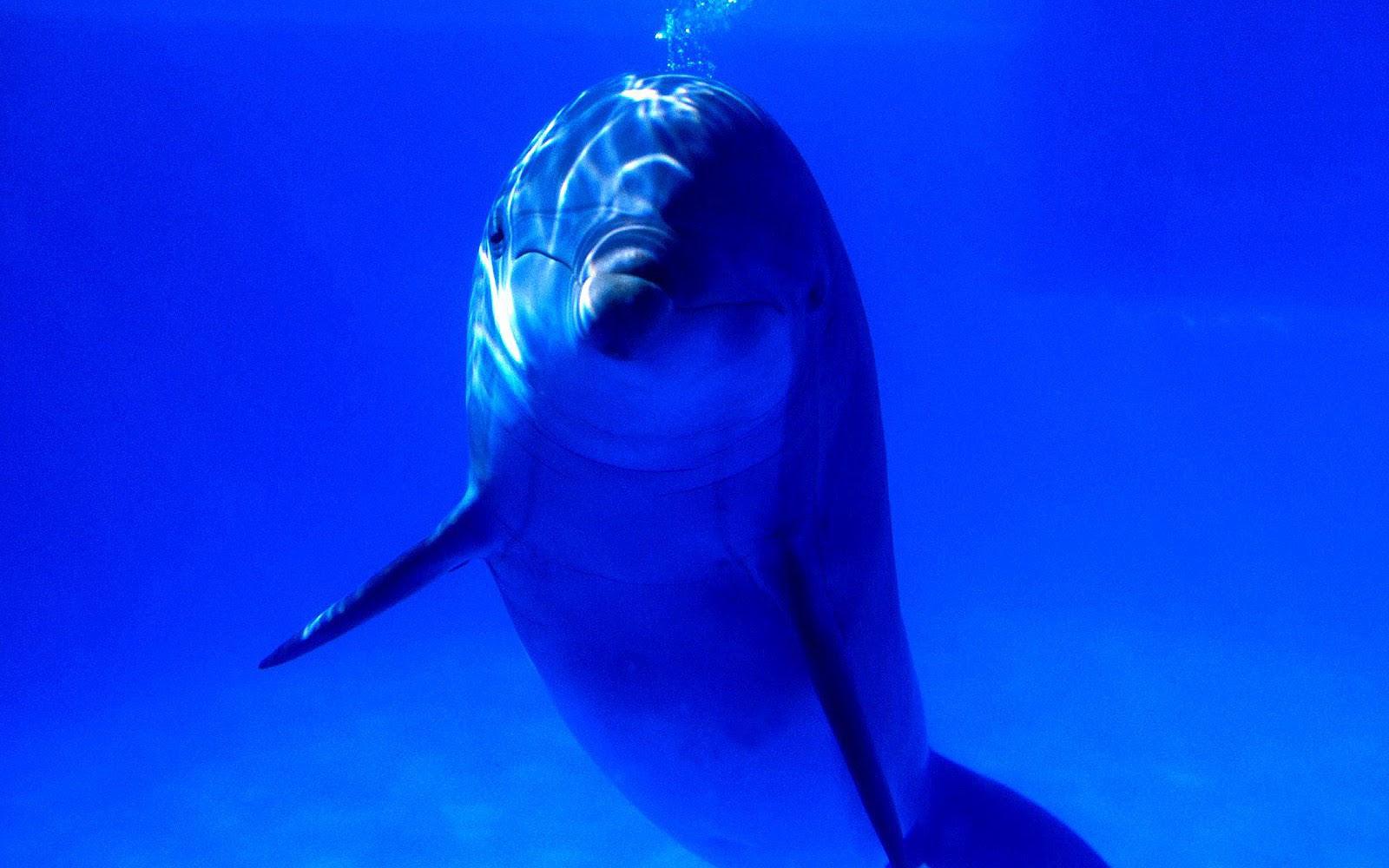 http://4.bp.blogspot.com/-fpJormg1tq4/UBrMyUNAugI/AAAAAAAAERs/n6A4U7o9NAY/s1600/hd-dolfijnen-achtergrond-met-een-dolfijn-onderwater-kijkend-naar-de-camera-hd-dolfijn-wallpaper.jpg