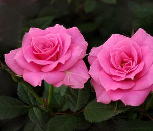 Pink Roses Birthday Flowers Of The Month