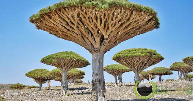 Pohon Darah Naga - Yaman