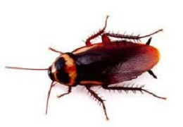how to kill german roaches the australian roach. Black Bedroom Furniture Sets. Home Design Ideas