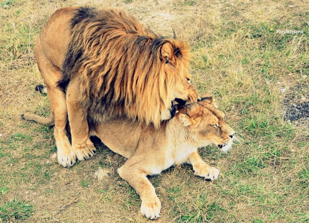 фото секс львов