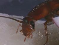cockroach head