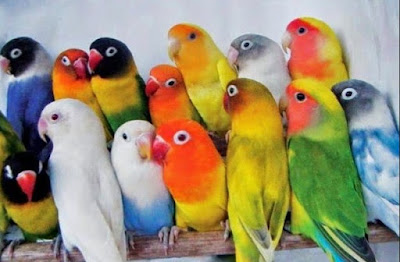 Daftar Harga Burung Love Bird Terupdet Bulan Oktober 2015
