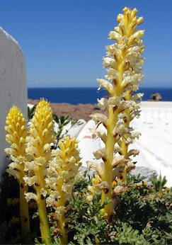 PLANTES DE MENORCA