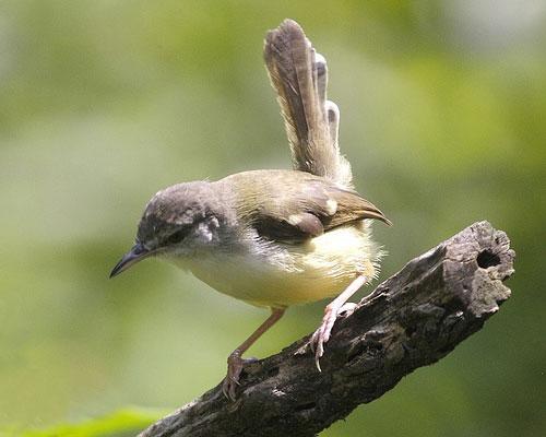 Cara Merawat Burung Ciblek - Jenis Burung Berkicau