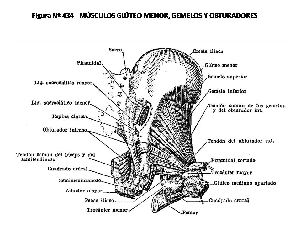 ATLAS DE ANATOMÍA HUMANA: 434. MÚSCULOS GLÚTEO MENOR, GEMELOS Y ...