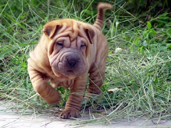 funniest amp cutest shar pei dog new images funny and cute animals