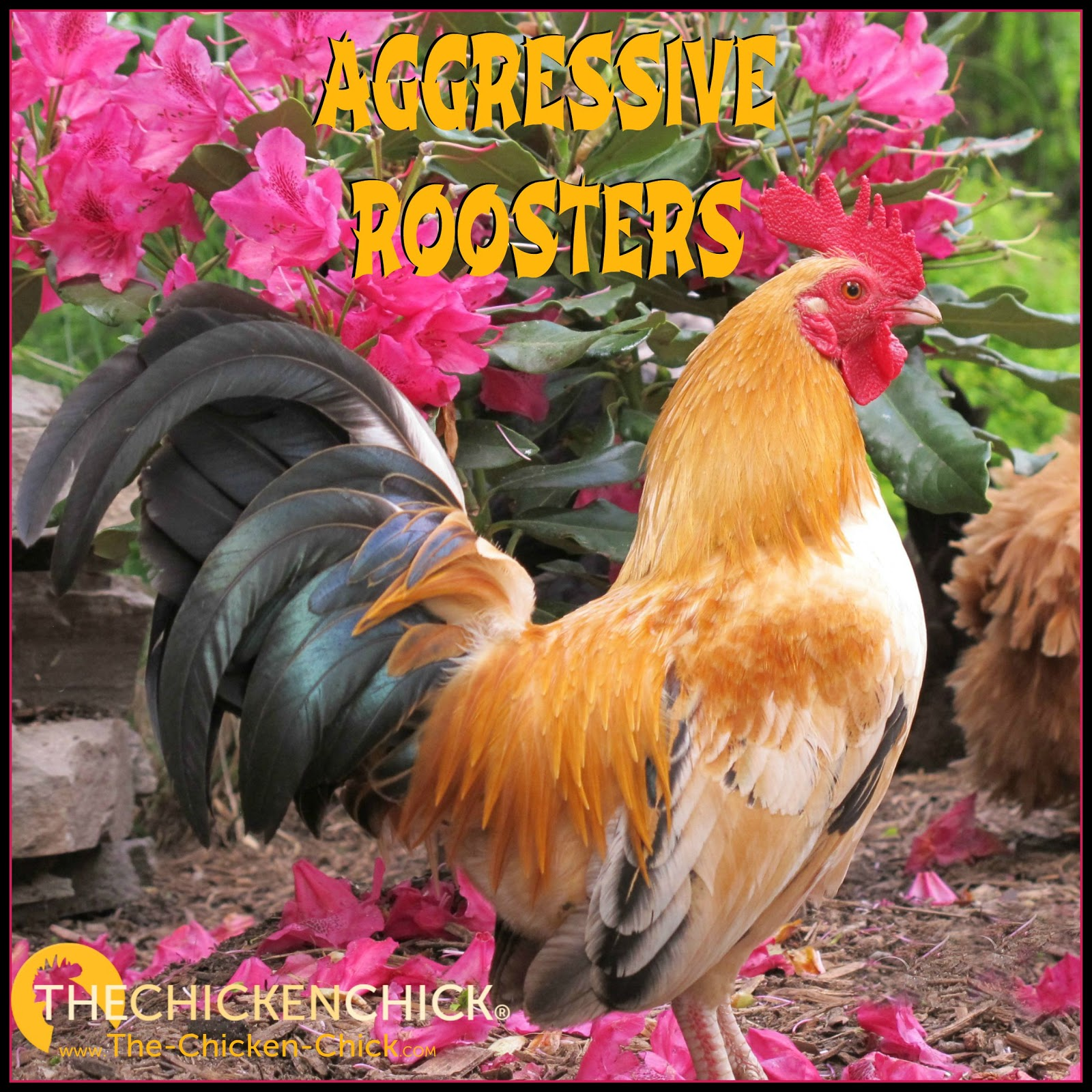 the chicken about aggressive roosters
