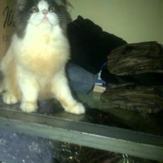 kucing persia tasik