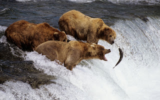 brown bears alaska (52)