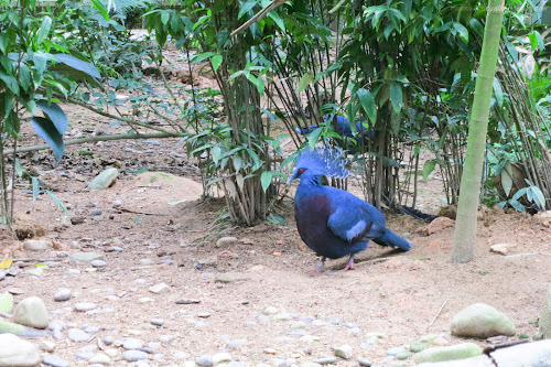 A Victoria Crowned Pigeon in Jurong Bird Park