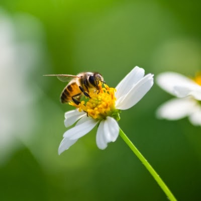 حبوب لقاح النحل