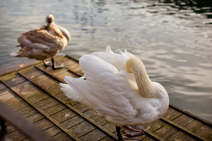 Thun Swans