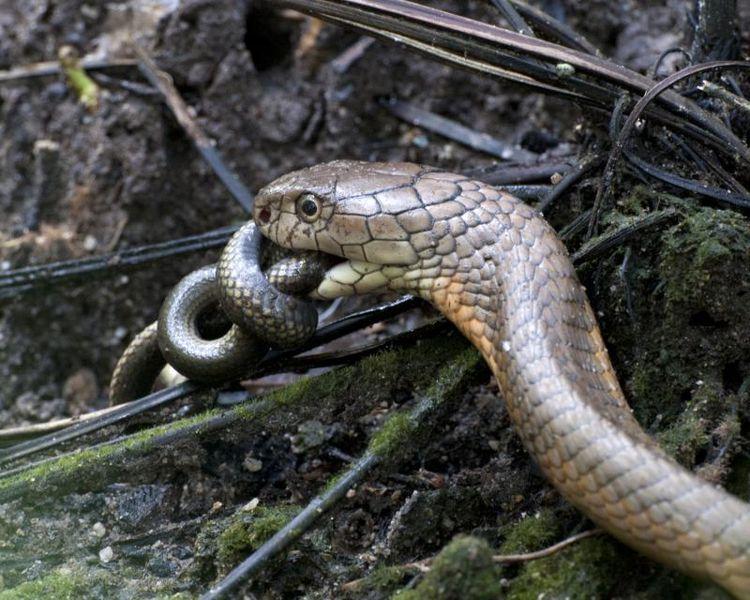 King Cobra Eating Another Snake