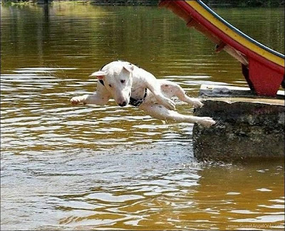 funny_picture_dog_jump_in_water