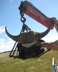Translocating an African buffalo bull