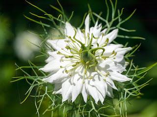 http://www.organicfarm.sklepna5.pl/towar/18/czarnuszka-50g-nigella-sativa-black-seed.html