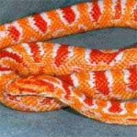 Fluorescent Orange Corn Snake -Triple Pet-: Jenis-Je...