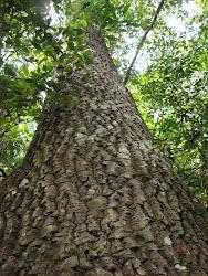 Mata Atlântica: 59% das árvores são raras!