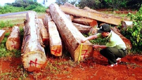 """Gia Lai: Tiếp vụ """"Gỗ lậu chất đầy vườn nhà dân"""" - Khi chủ tịch huyện nhập cuộc điều tra"""